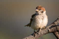 Young Eurasian tree sparrow Passer montanus sitting on the branch.  Royalty Free Stock Photos