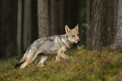 Free Young Eurasian Wolf Looking Aroung In Forest - Canis Lupus Royalty Free Stock Image - 126258096