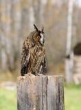 Young Euroasian eagle owl Stock Photo