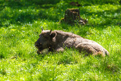 Young European bison (Bison bonasus) Stock Photography