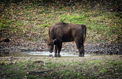 Young European bison drinks water Stock Photo