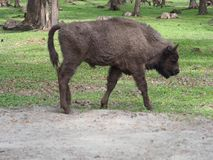 Young european bison looks and stands alone on sandy ground in enclosure at city of Pszczyna in Poland. Young european bison looks stands alone on sandy ground stock image