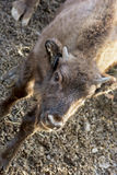 Young European bison Royalty Free Stock Photo