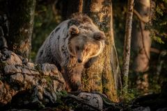 Young blond brown bear Royalty Free Stock Photo