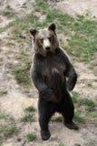 Young european brown bear Stock Image