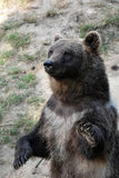 Young european brown bear Royalty Free Stock Photos