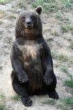 Young european brown bear Stock Photos