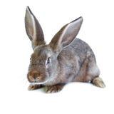 Young european brown rabbit on white background Royalty Free Stock Photos
