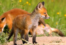 Young european fox Stock Images