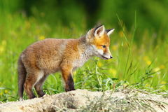 Young european fox Royalty Free Stock Images