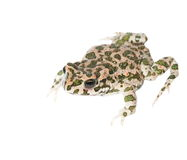 Young european green toad isolated on white Royalty Free Stock Images