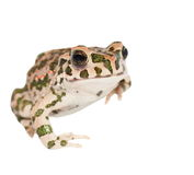 Young european green toad isolated on white Royalty Free Stock Photo
