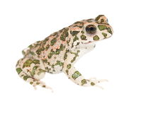 Young european green toad isolated on white  (Bufo viridis) Royalty Free Stock Photos