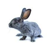 Young european grey rabbit on white background Stock Photos