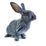 Young european grey rabbit on white background Royalty Free Stock Image