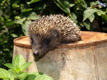 Young European hedgehog Royalty Free Stock Images