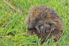 Young european hedgehog Stock Images