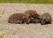 Young European hedgehogs (Erinaceus europaeus) Stock Photography