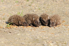 Young European hedgehogs (Erinaceus europaeus) Royalty Free Stock Photography