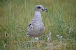 Young European Herring Gull (Larus argentatus) Royalty Free Stock Photography