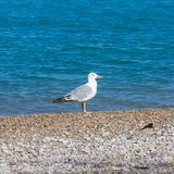 Young European herring gull Larus argentatus in their natural. Seabird on pebble beach. Young European herring gull Larus argentatus in their natural habitat Royalty Free Stock Images