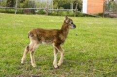 Young european mouflon animal, funny creature. European baby mouflon on the grass, comical animal with cute brown fur royalty free stock photos