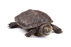 Young European pond turtle isolated on white. Background Royalty Free Stock Image