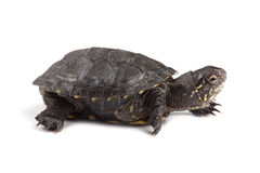 Young European pond turtle isolated on white. Background Stock Photo