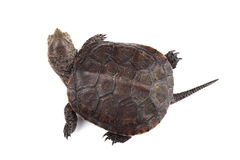Young European pond turtle isolated on white. Background Royalty Free Stock Photography