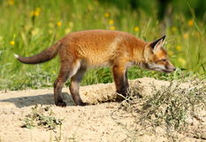 Young european red fox Royalty Free Stock Photos