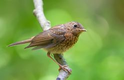 Young European robin perched on a branch with sweet light stock photography