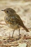 Young European Robin portrait stock photography
