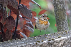 A young European robin Royalty Free Stock Photography