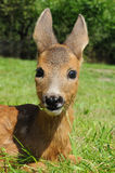 Young european roe deer (Capreolus capreolus) Royalty Free Stock Photos