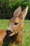 Young european roe deer (Capreolus capreolus) Stock Photo