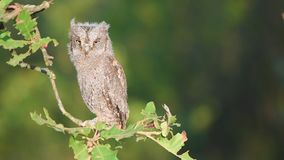 Young European scops owl Otus scops sitting on a branch stock footage