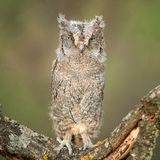 Young European scops owl Otus scops sitting on a branch Royalty Free Stock Photos