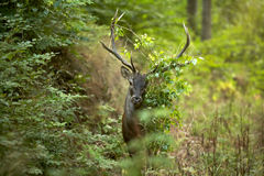 Young European stag deer Stock Photography