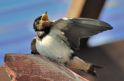 Young European swallow. Closeup of young European swallow with raised wing and open beak or bill Royalty Free Stock Image