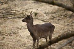 Young European wild deer in the woods stock photo