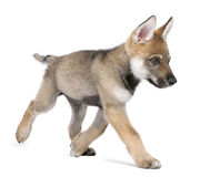 Young European wolf running - Canis lupus lupus Stock Photo