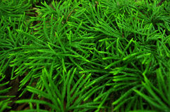 Young Evergreen Trees Royalty Free Stock Image
