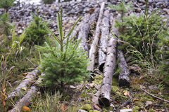 Young Evergreen Trees Growing Beside Cut Logs. Nature Detail of Young Evergreen Sapling Tree Growing Beside Fallen Cut Logs - Logging Industry Deforestation royalty free stock photography
