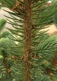 Young evergreen trunk Stock Photos