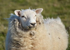 A young Ewe Stock Photo