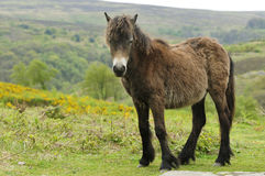 Young Exmoor Pony Royalty Free Stock Photography