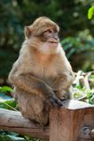 Young expressive macaque sitting on wooden fence in. Portrait of young expressive macaque sitting on wooden fence in the forest royalty free stock image