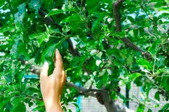 Young fair girl`s hand touching the leaves of an apple tree stock photo