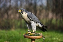 Falco peregrinus calidus artic falcon on perch. Young Falco peregrinus calidus artic falconon  perch Royalty Free Stock Photography