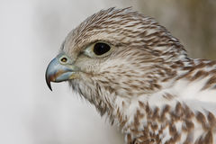 Young falcon Royalty Free Stock Images